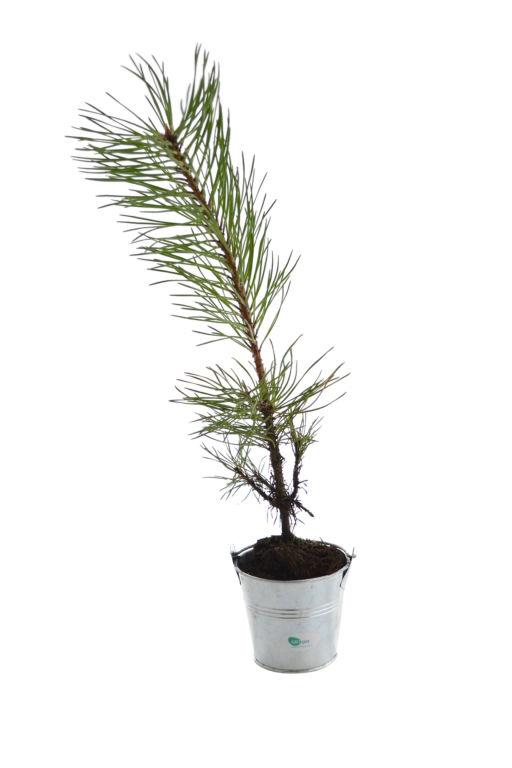 plant d 39 arbre en pot zinc r sineux promotionnel. Black Bedroom Furniture Sets. Home Design Ideas